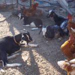 wwoofing in Spagna, galline, wwoof, capre