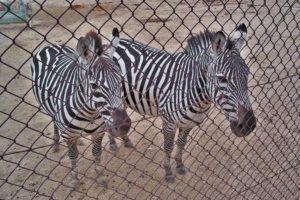 zebre, safari madrid, spagna