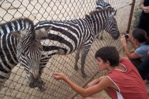 zebra, safari, madrid, zoo