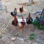 wwoof in Spagna, galline, fattoria, wwoofing, scambio, vitto e alloggio