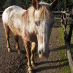 opportunità di volontariato, scambio alla pari, ospitalità gratuita, progetto culturale, vitto e alloggio, cavalli