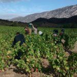 vendemmia, francia, idealizzazione, raccolta dell'uva, settembre, ottobre, opportunità, vendemmianti