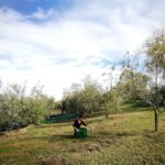 griturismo Cornieto Raccolta Olive
