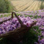 cesto di fiori di zafferano