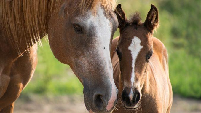 cavalli, volontariato, scambio alla pari