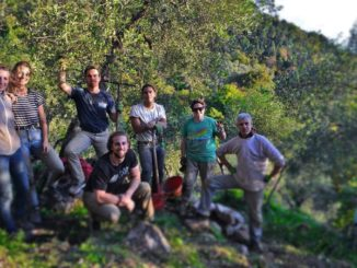 wwoof in toscana, raccolta delle olive