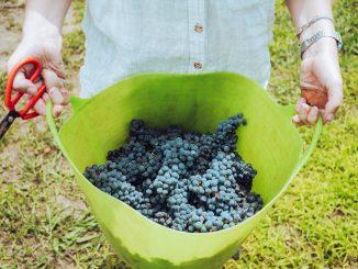 vendemmia, francia, raccolta dell'uva, consigli, contatti, informazioni