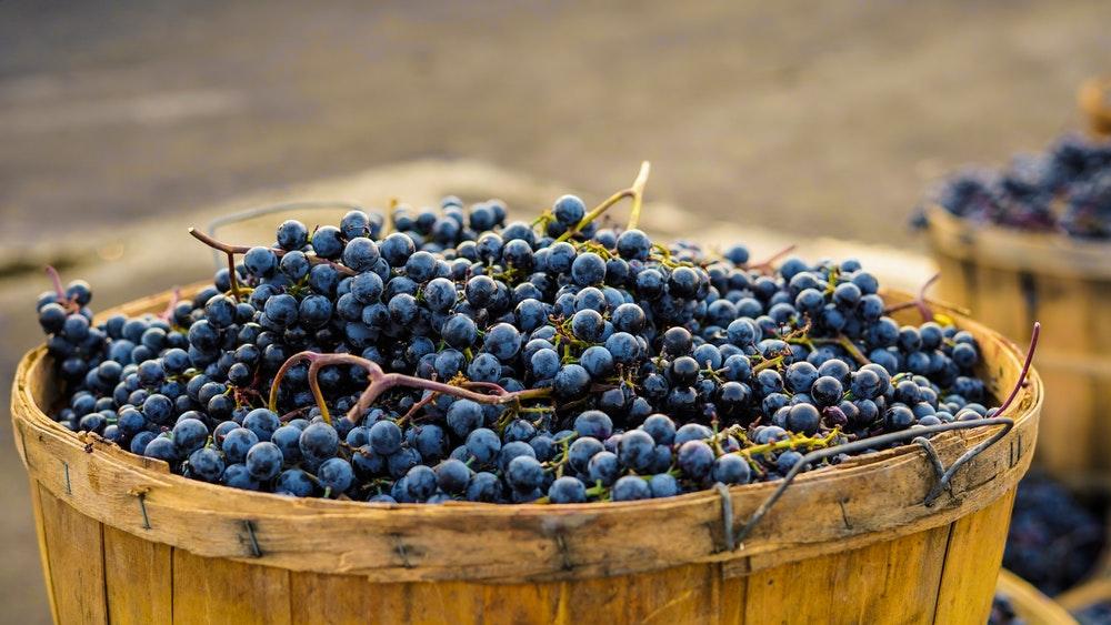 raccolta dell'uva, vendemmia, uva, grappoli, cesta,